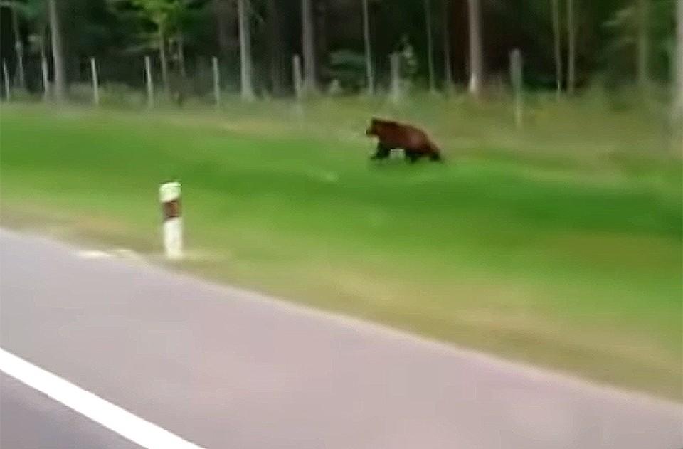 Водитель фуры снял ролик о белорусском медведе, бегущем вдоль трассы. Кадр из видео.