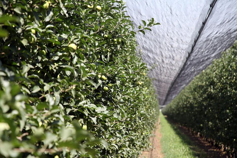 Фруктовые сады в республике крым сколько сахара в литре кока коле