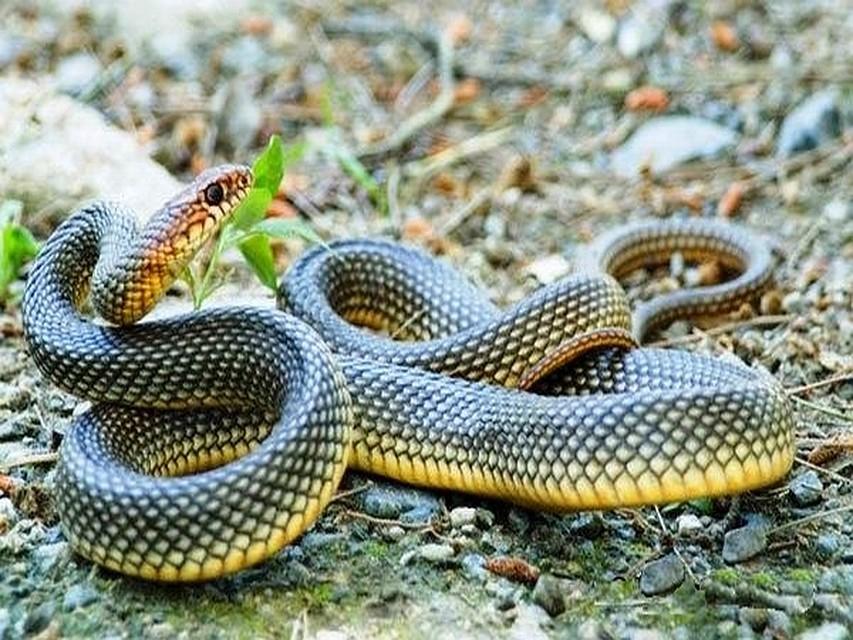 картинка змей полоз рукоделие