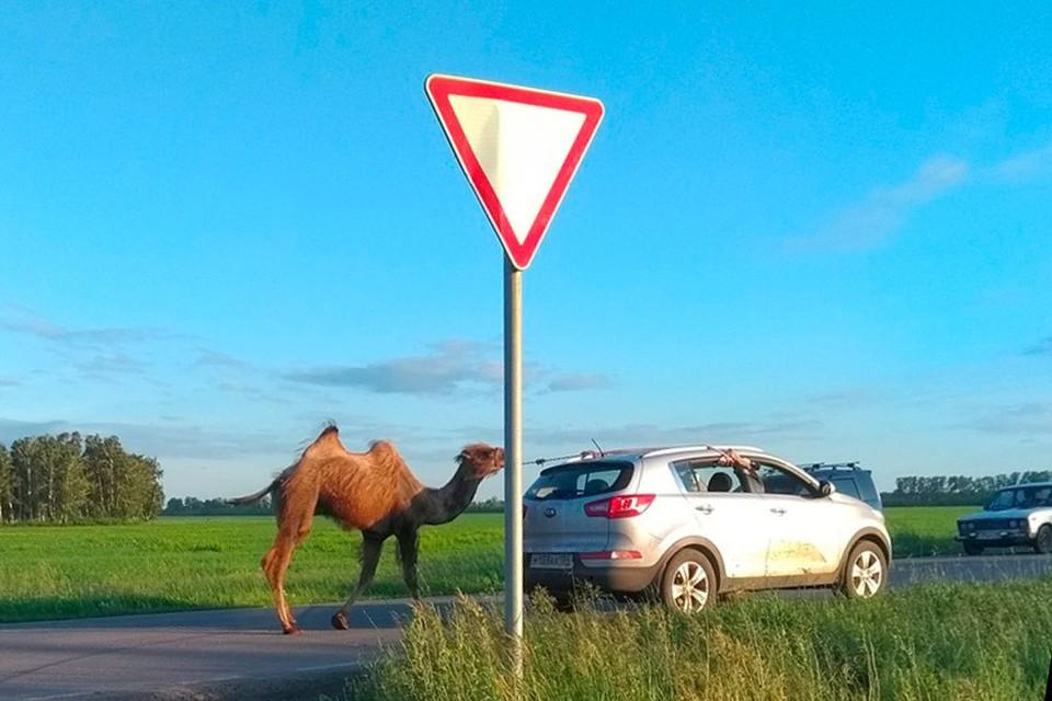 """Сбежавшего верблюда вернули к его беременной самке. Фото: сообщество """"Подслушано Камень-на-Оби"""" в социальное сети """"ВКонтакте"""""""