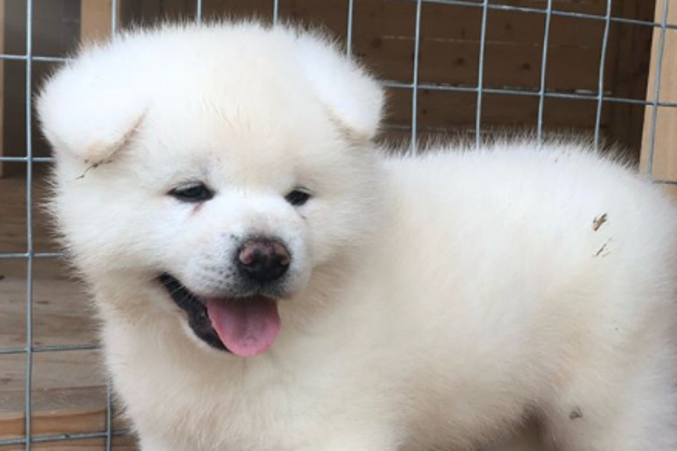 Свой Дед мороз: Губернатор Сахалинской области снова раздает породистых щенков