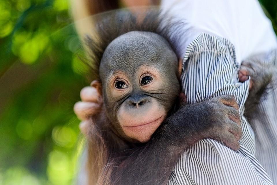 Специалисты надеются, что опеку над Матику возьмет орангутан Личи в Московском зоопарке, известная своей теплотой к приемным детенышам. Фото: Новосибирский зоопарк