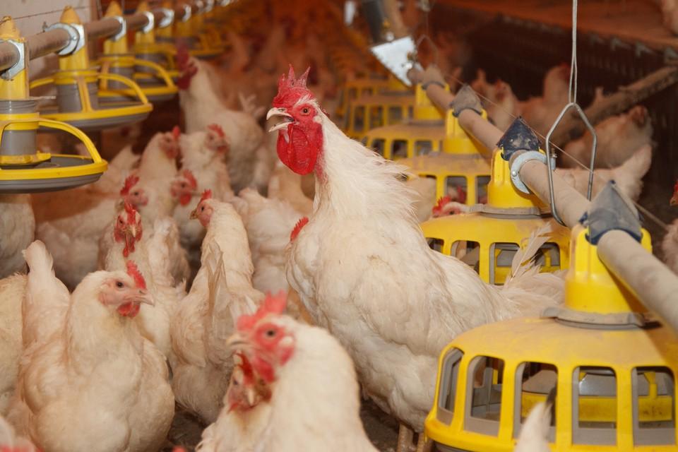 Эксперты доказали, что приватизация «Птицефабрики Зеленецкой» была нецелесообразна и незаконна
