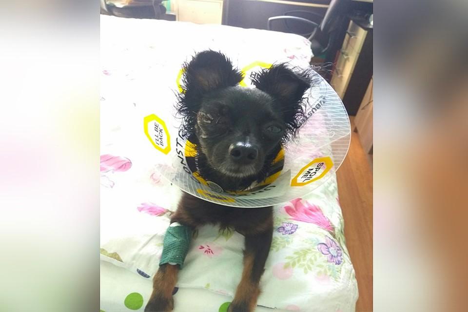 Carina для лечения суставов у собак перевязка пелечевого сустава