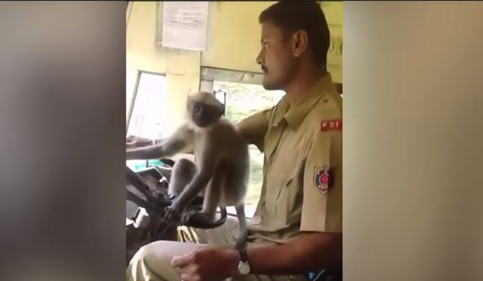 Водитель автобуса принял решение «передать управление» обезьяне. Пассажирам это понравилось, и они начали записывать животное на видео.