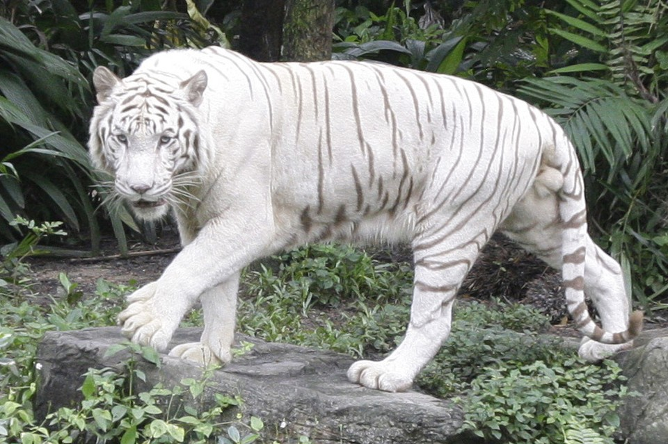 Сотрудника японского зоопарка растерзал белый тигр