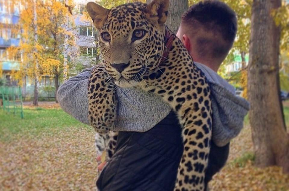 Леопард прокатился по центру Екатеринбурга на такси и стал звездой Интернета