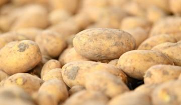 Когда сажать картошку в 2019 году по лунному календарю