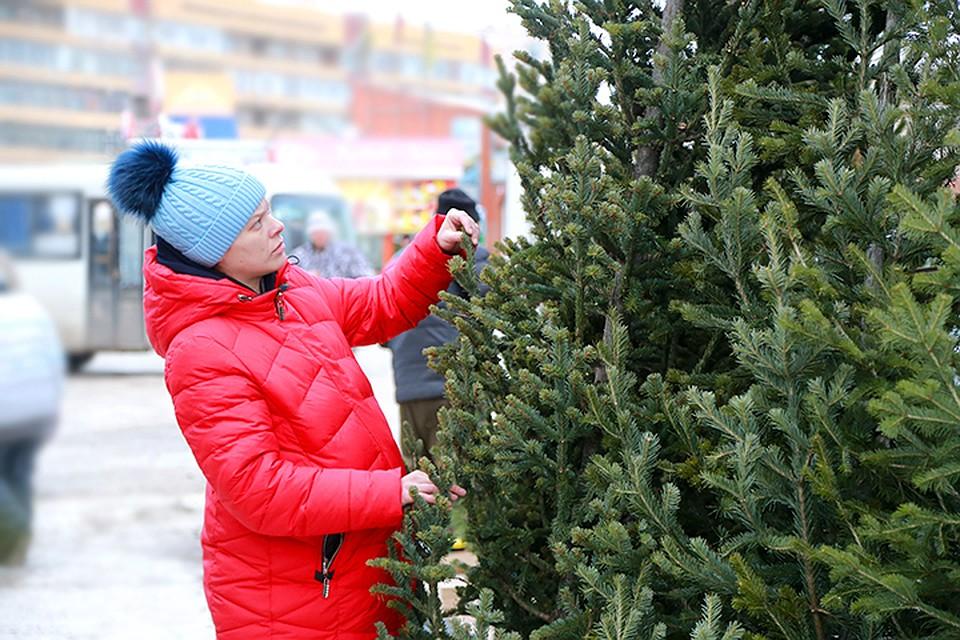 Как в Красноярске выбрать елку на Новый год 2019  полезные советы 47e688bf05e