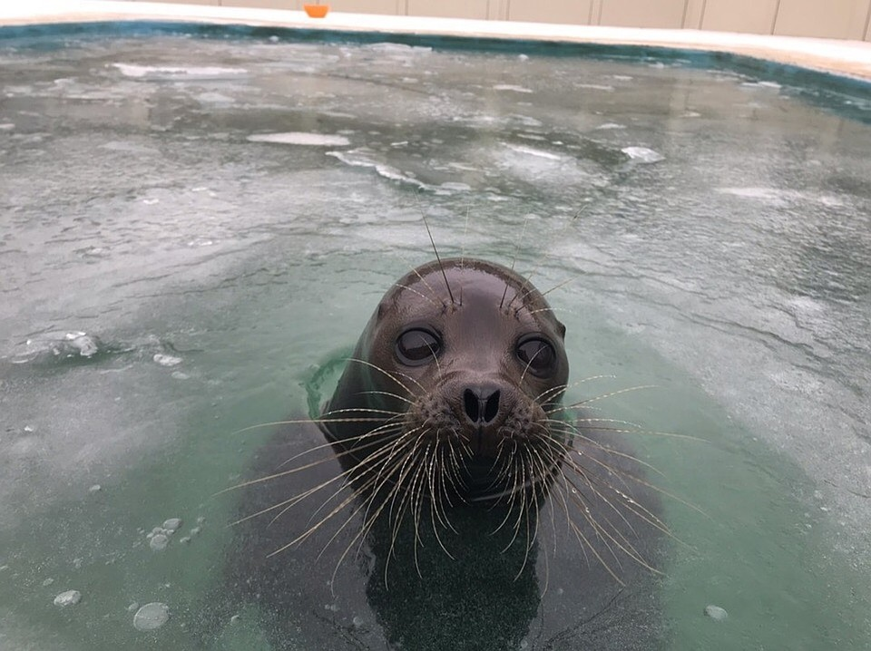 В Петербург встретить Новый год приплыла нерпа Фото: Центр реабилитации морских млекопитающих