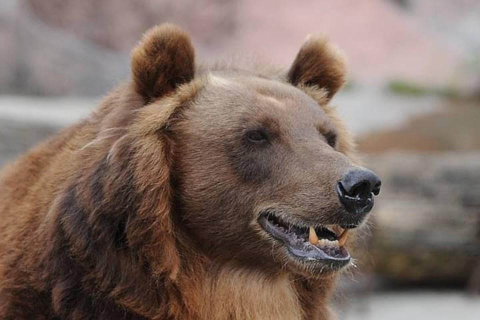 Нехватка такта порой подводит Медведя. Он кажется неповоротливым. Поэтому коллеги могут засомневаться в его оперативности. Но Миша себя покажет!