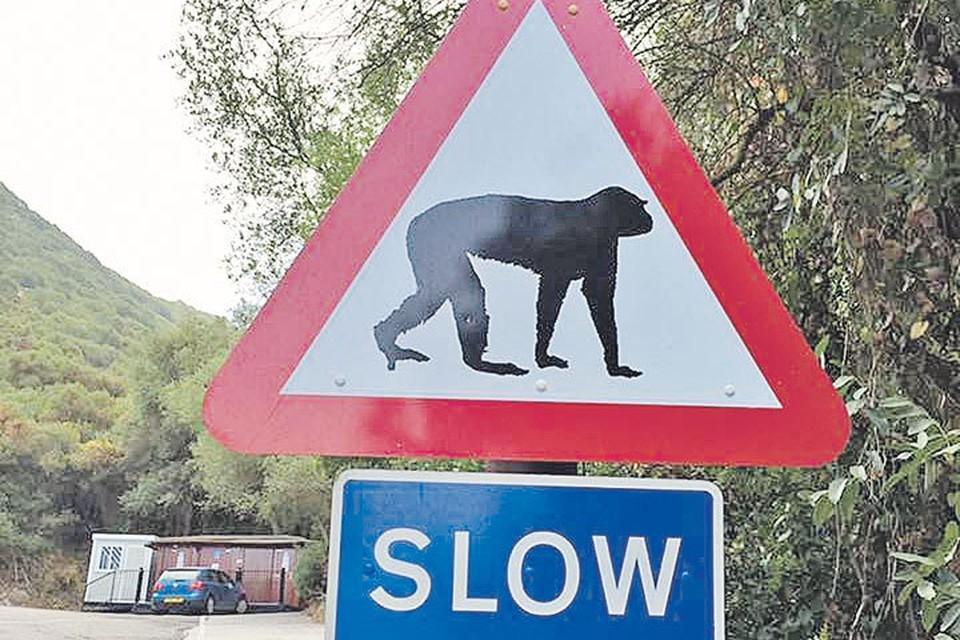 Гибралтар - единственное место в Европе, где водятся дикие обезьяны. Знак призывает водителей ехать помедленнее.