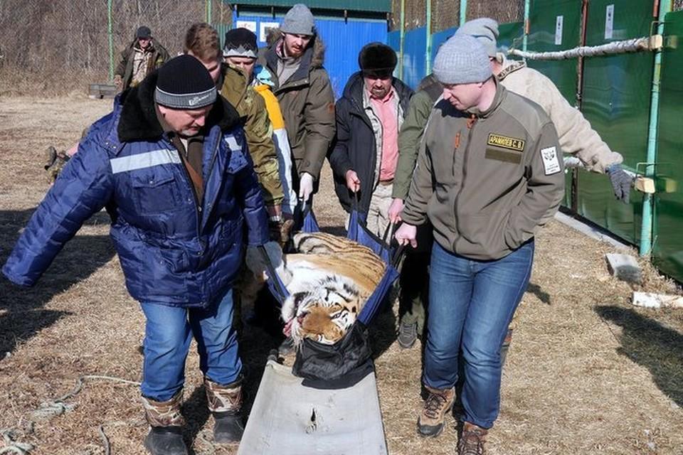 Люди сделали всё возможное, чтобы спасти вышедшего к ним хищника. Фото: Центр «Амурский тигр»