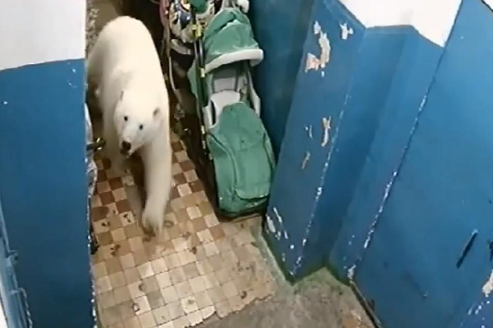 Белые медведи хозяйничают в поселках на Новой Земле
