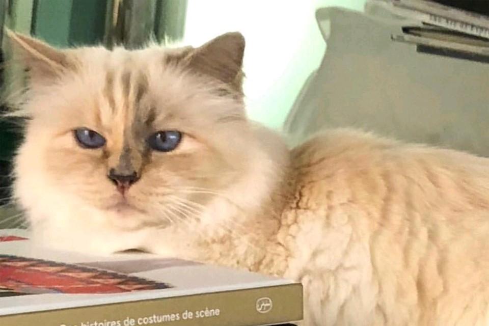 Шупетт - любимая кошка Карла Лагерфельда.