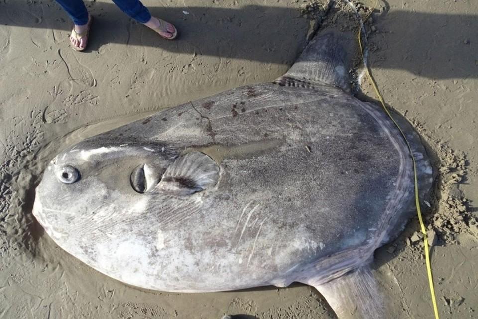 В Южной Калифорнии на берег выбросило двухметровую рыбу, которую раньше никто не видел