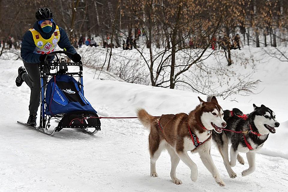 Гонки на санях с собаками в упряжках, как оказалось, весьма популярны среди жителей столицы