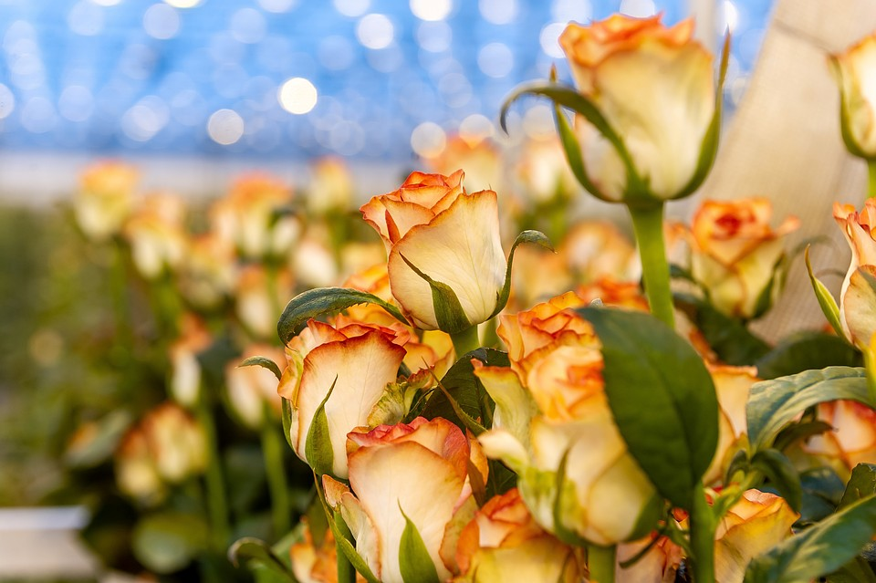 1600cc6f8ee4 Миллион алых роз: как выбрать правильный букет на 8 марта