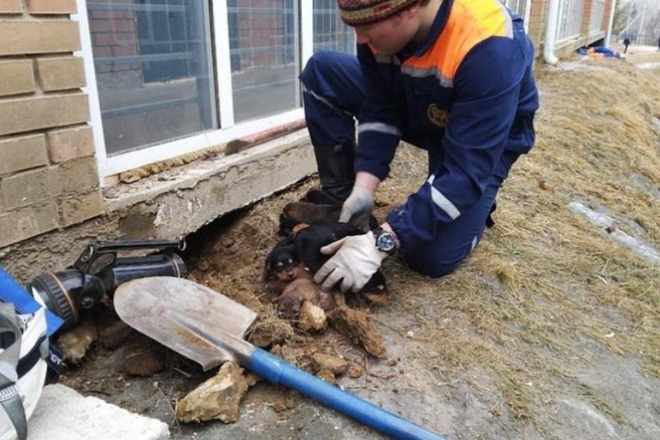 В Иркутске спасатели вырыли 20-метровый тоннель ради щенков, застрявших в подвале.
