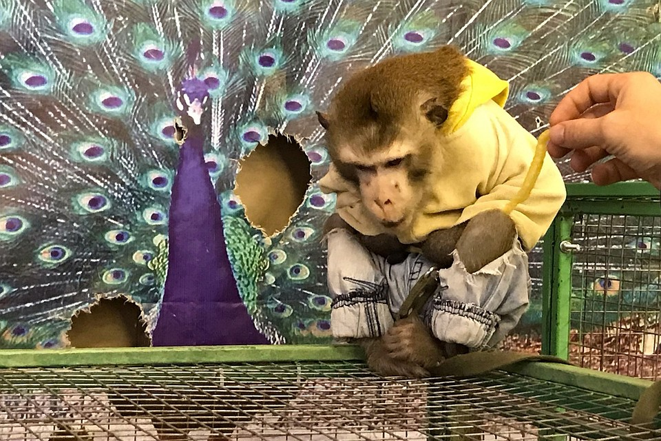 Лапы обезьяны игровые автоматы секрет казино вулкан