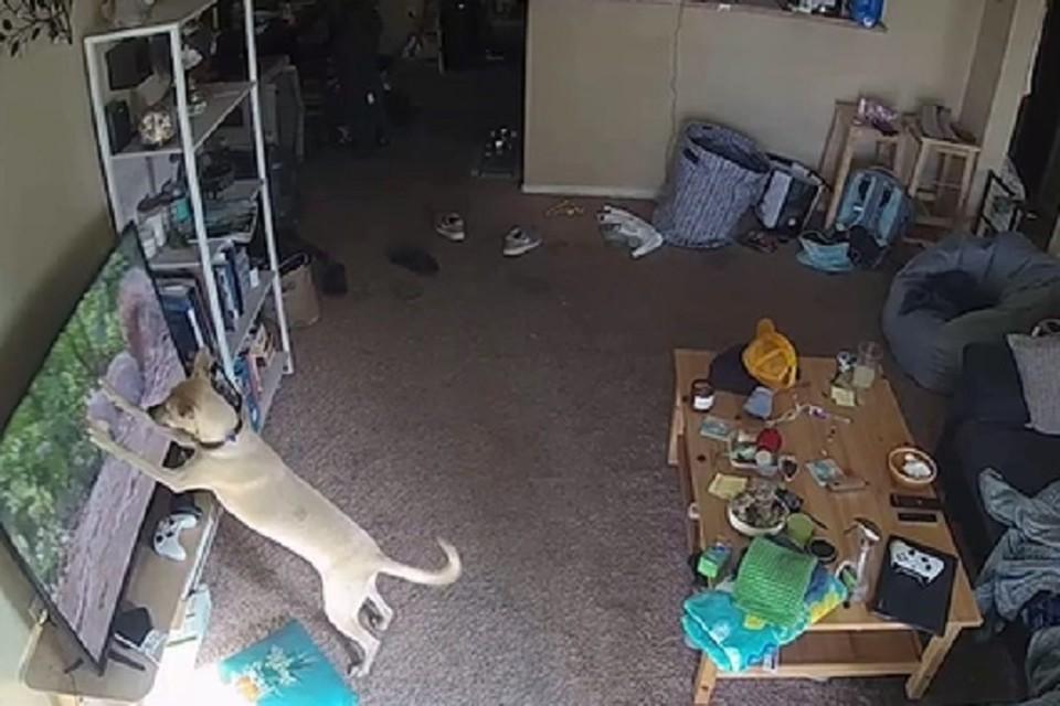 Собака разила телевизор, пытаясь поймать белку на экране