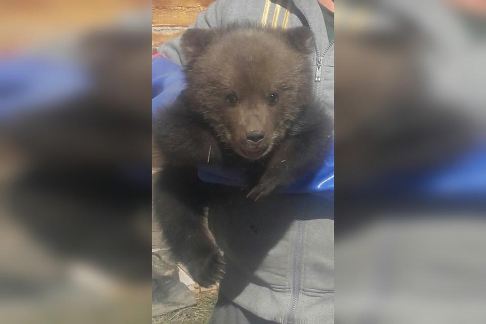 Малыш плакал и искал маму: иркутяне ищут дом для потерявшегося медвежонка. Фото: страница Александра Соболева в Facebook.