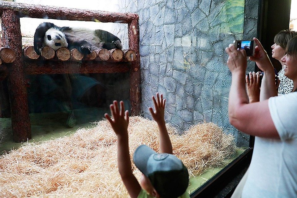 За пандами в Московском зоопарке можно будет следить онлайн. Фото Сергей Фадеичев/ТАСС