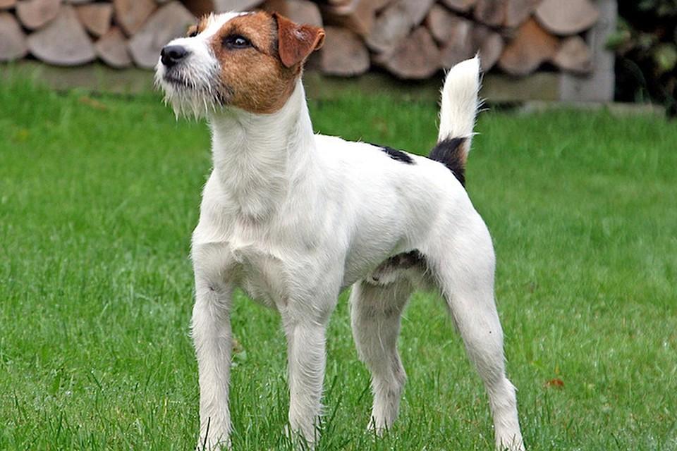 Джек-рассел-терьеры - собаки хоть и маленькие, но смелые и чуткие. Так что свою кличку Мачо полностью оправдывает. Фото: Wikipedia (JOLLY-DOGS-JACK-RUSSELL)