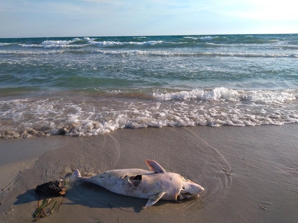 Мертвых млекопитающих море выбрасывает на берег.