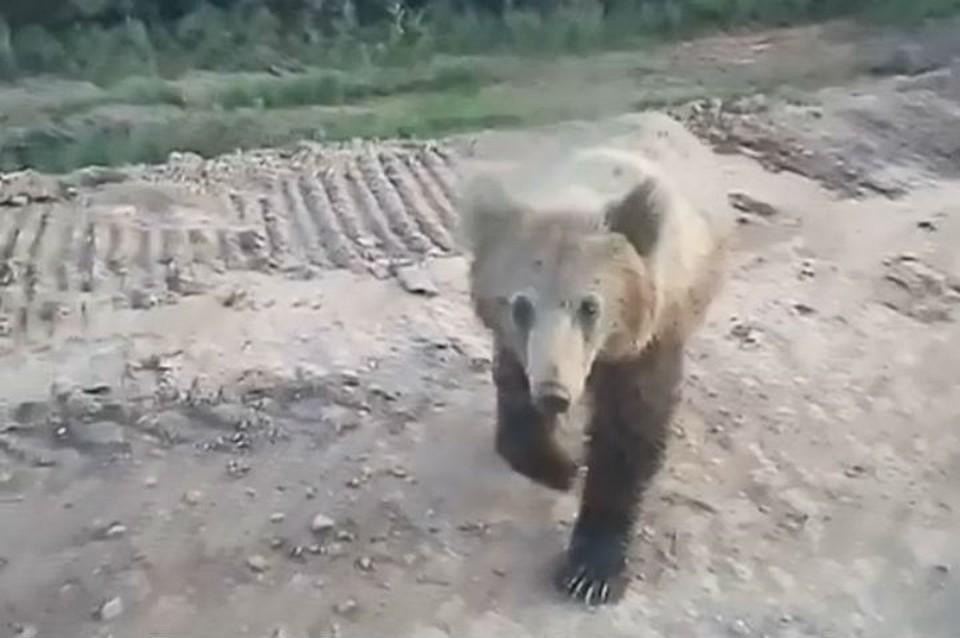 Момент, как медведь подходит к машине и начинает выпрашивать еду. Фото: Артем ЗАХАРКИН.