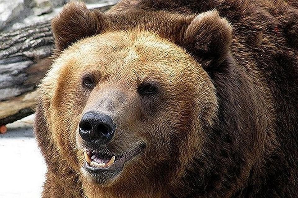 Встреча с медведем может закончиться для человека летальным исходом