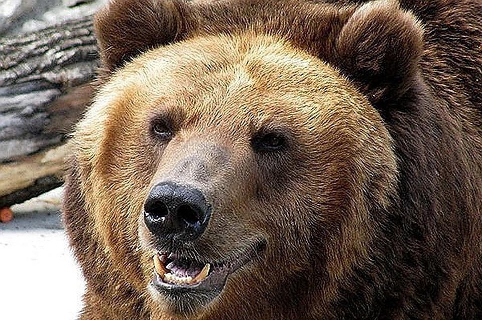 Спасшиеся из лесных пожаров в Красноярском крае медведи массово устремились на Алтай.
