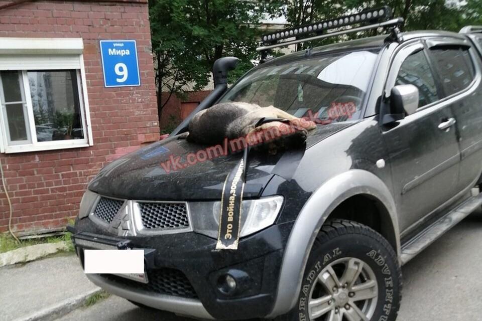Тело животного отправили на экспертизу. Фото: Мурманск ДТП ЧП