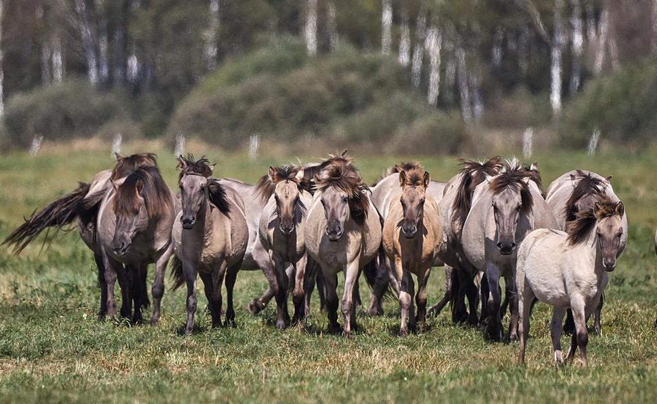 В Беларусь вернулись дикие лошади.