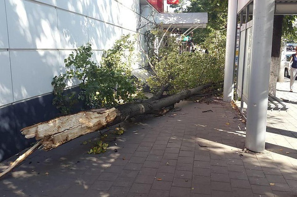 В Краснодаре упало дерево Фото: Ренат Александров