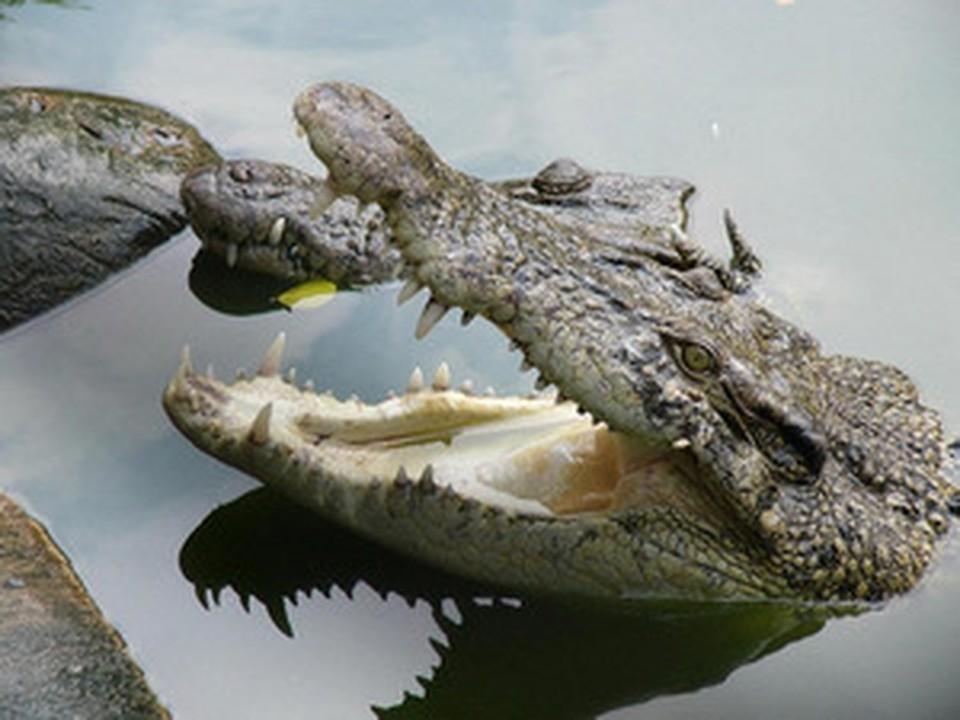 Новосибирская филармония обеспечивает нильского крокодила питанием уже пятый год.