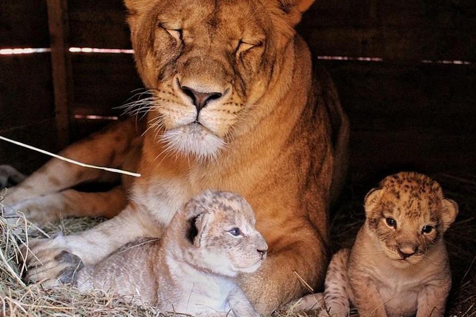 """Астра стала заботливой мамой. Фото: предоставлено зоопарком""""Садгород"""""""