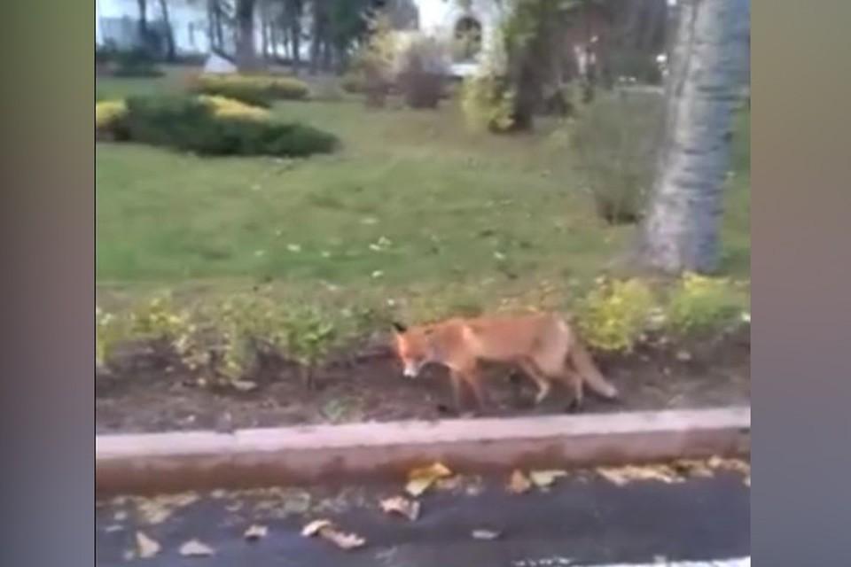 Вероятно, по кремлю гуляет все та же лисица, которая была замечена в начале октября на площади Минина.