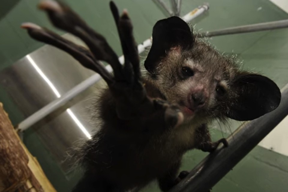 Пожалуй, только пальцы и роднят лемуров айе-айе с инопланетянами. Ну, еще огромные глаза.