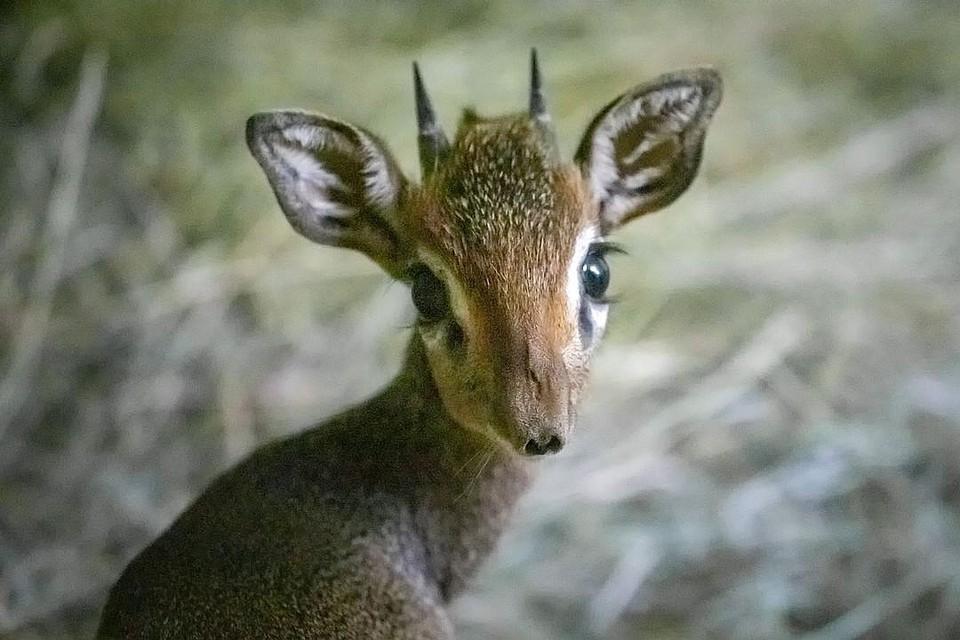 Антилопы дикдик - редкие животные. Фото: Новосибирский зоопарк.