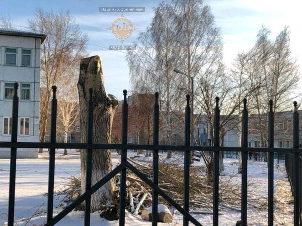 Красноярцы возмутились обрезке деревьев у школы. Фото: Наш микрорайон Солнечный.