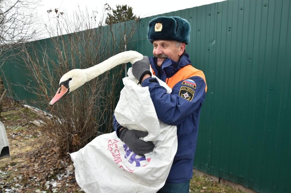 В пригороде Тюмени сотрудники МЧС и местные жители спасли лебедя, которому требовалась медицинская помощь. Фото Александра Зубарева