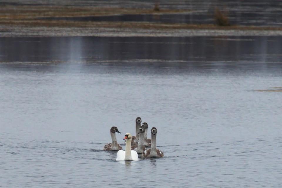 Лебединое семейство осталось зимовать в Нижегородской области. ФОТО: Вячеслав Юсупов