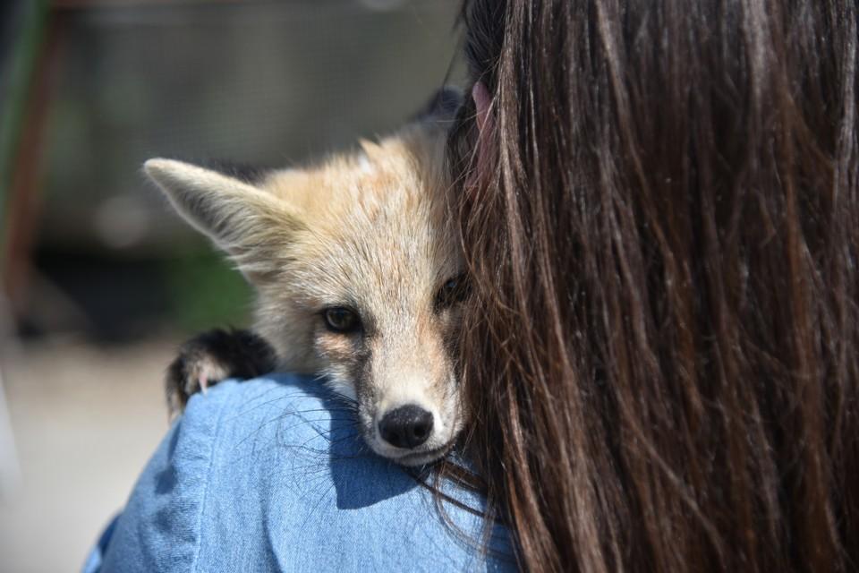 Домашних лис из Академгородка знают во всем мире.