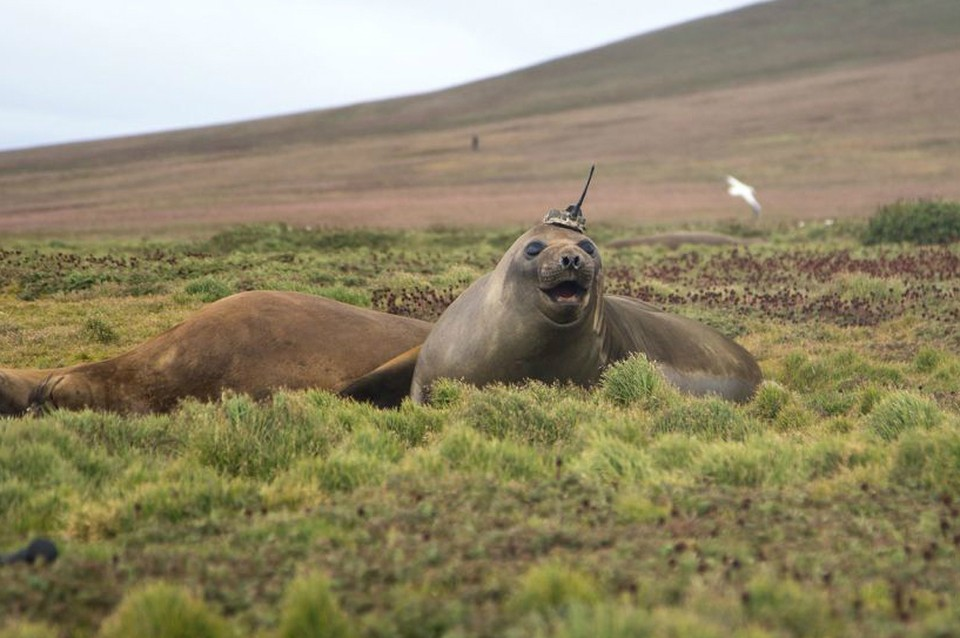 """Ученые NASA показали фотографии морских слонов в """"шапочках"""" с антенной. Фото: Sorbonne University/Etienne Pauthenet via NASA"""