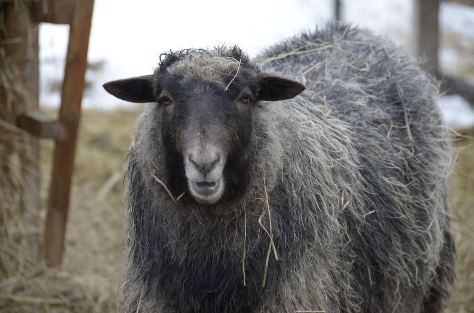 На время карантина овец и коз запрещается стричь.