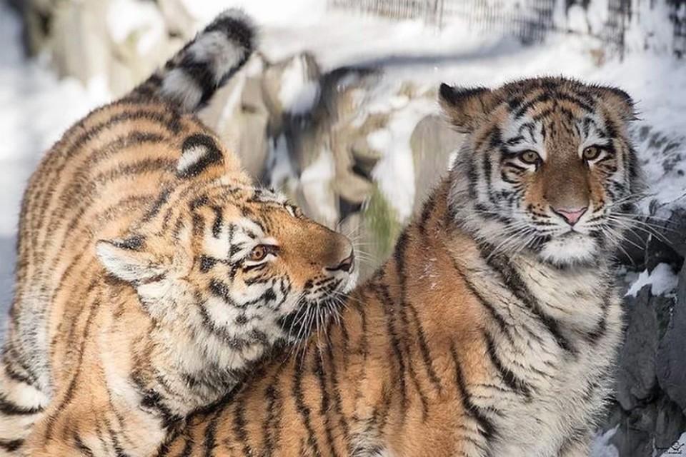 На видео три тигренка попали в свет фар, еще один редкий кот (или кошка) скрывается в темноте. Фото: Андрей ПОЛЯКОВ
