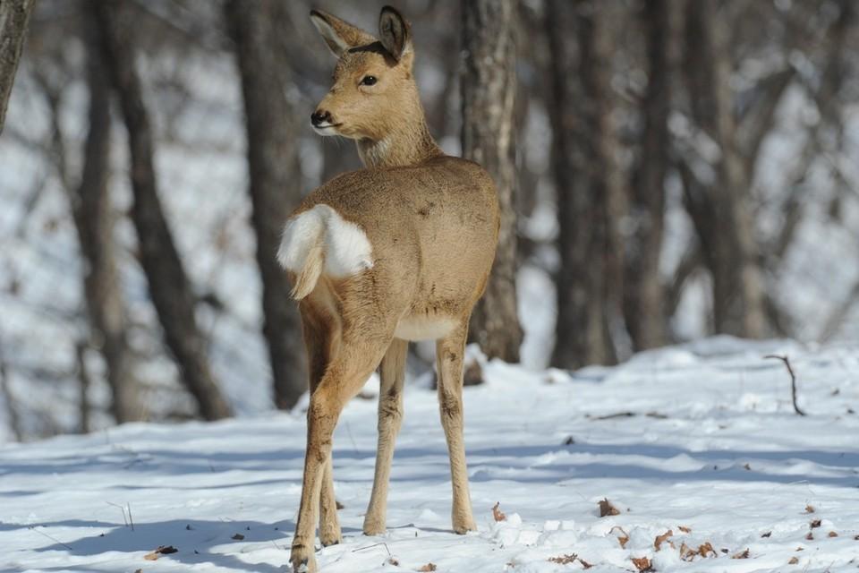 Добычей браконьеров стала косуля. Сейчас убитое животное - вещдок.