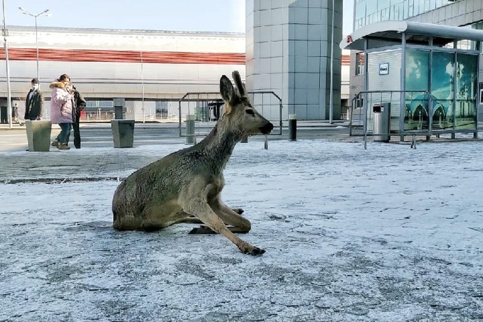 Животное кричало как ребенок. Фото: пресс-служба аэропорта Казани