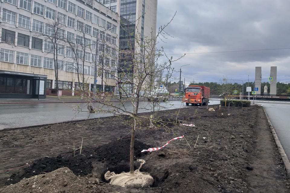 На разделительной полосе проспекта Ленина появились рослые саженцы.